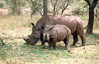 White rhinoceros (Ceratotherium simum) South Africa.