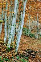 Beech (Fagus sylvatica) in autumn, Tejera Negra Beechwood Natural Park. Guadalajara province. Castilla la Mancha, Spain