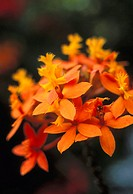 Close-up single group of orange Epidendrum orchid, soft focus