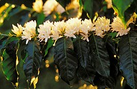 Hawaii, Big Island, Holualoa, flowering coffee trees
