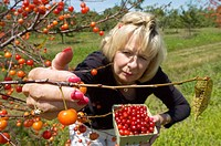 Woman picks Ripe Cherries hanging from trees in an orchard Port Huron Michigan