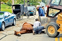 Amish life in Millersburg and Sugrar Creek Holms County Ohio Horse dead after slipping and falling and breaking neck