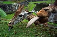 Giraffes  Kolmarden Zoo, Sweden