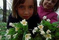 Wood anemone, Sweden