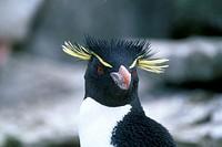 Rockhopper penguin, Antarctica