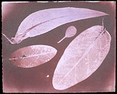 Water fixed photogenic drawing negative of four leaves. Sir John Herschel (1792-1871), English astronomer, mathematician and chemist and the son of Si...