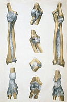 Lower arm bones & ligaments. Historical anatomical artwork of lower arm bones (yellow) and ligaments (pale blue). Ligaments are bands of fibrous tissu...