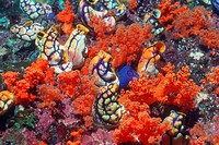 Ink-spot sea squirts (Polycarpa aurata) amongst soft corals. Sea squirts are primitive sessile animals with tubular bodies. They feed by circulating w...
