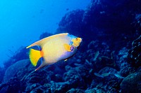 Queen Angelfish (Holacanthus ciliaris). Bonaire. Netherlands Antilles. Atlantic Ocean. Caribbean
