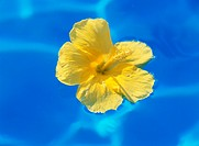 Tropical flower (Hibiscus) on the water (thumbnail)