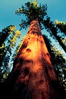 Low angle view of Sequoias, Sequoia National Park, California