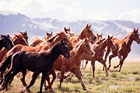 Large group of horses-Fairplay, Colorado