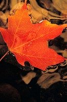 Fall maple leaf