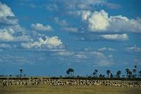 Burchell´s zebra, Makgadaleadi Pans National Park, Botswana, Africa
