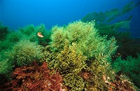 Underwater landscape with brown and red algaes, Mediterranean Sea