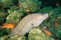 Moray Eel (Muraena helena), Mediterranean Sea
