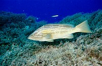 Goldblotch Grouper (Epinephelus costae), Mediterranean Sea