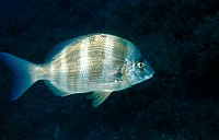 Zebra Sea Bream (Diplodus cervinus), Mediterranean Sea