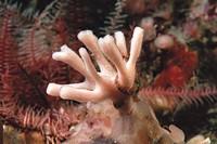 Sponge (Haliclona fistulosa). Galicia, Spain