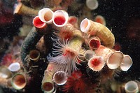 Red Tube Worm (Serpula vermicularis) eating plankton. Galicia, Spain
