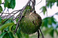 Soursop (Annona muricata) fruit. St. Thomas, US Virgin Islands. West Indies, Caribbean