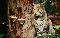 Wild cat (Felis silvestris) sitting at tree trunk, staring. Bayerischer Wald NP. Germany