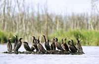 Great cormorant (Phalacrocorax carbo sinensis), young birds resting on sandbank. Anklam. Germany.