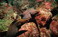 action, camouflage, dangerous, diving, Ecuador, South Amerika, Fine spotted moray, fishes, Galapagos, Galápagos, Gym
