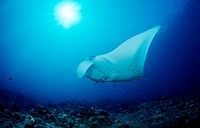 action, Ari atoll, big fish, diving, endangered, holiday, holidays, Indian ocean, live, Maldives Islands, Manta biro