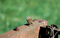 Wren (Troglodytes troglodytes) perched on rusty farm implement. UK