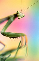 Close-up praying mantis. Oregon. USA.