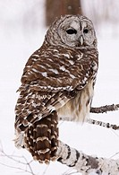 Barred owl (strix varia) in tree during snow fall. Photographed in Northern Minnesota, U.S.A