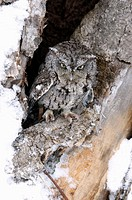 Screech owl (Otus asio) in tree hole