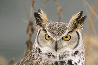 Long eared owl (asio otus) head shot. Photographed in Northern Minnessota, U.S.A.