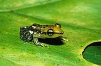 Painted pandanus frog (Mantidactylus pulcher). Andasibe. Madagascar.