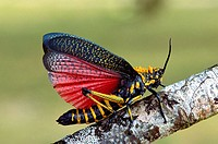 Painted grasshopper, displaying. Maroantsetra. Madagascar