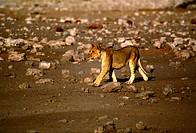 Lioness Cub, Etosha National Park, Namibia