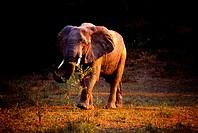 Elephant, Mongolia,