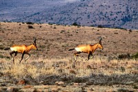 Red Hartebeest Running, Kruger National Park, Mpumalanga, South Africa