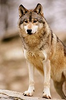 Wolf (Canis lupus). Captive