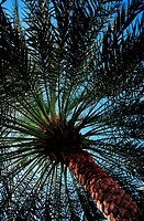 Date Palm Tree in the United Arab Emirates