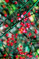 Red berries on a bush