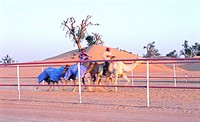Camel training in the desert near Al Ain, United Arab Emirates