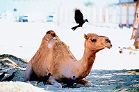 Camel and crows