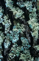 Powder-edged ruffle lichen (Parmotrema stuppeum) growing on pine bark. A lichen is a symbiosis between a fungus and an alga. The fungus provides the s...