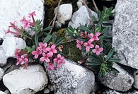 Garland flower (Daphne cneorum).