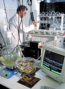 Oyster toxicity research. Researcher working in a laboratory to test for the presence of toxins in oysters (some at lower centre). Oysters can be cont...