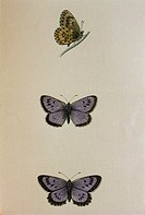 Large blue. Coloured historical engraving of large blue butterflies (Maculinea arion). This is an extremely rare butterfly of Northern Europe. One rea...