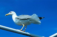 Common gull (Larus canus). This coastal bird is found throughout the Northern Hemisphere. Its body length is around 40 centimetres. It mostly feeds on...