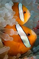 Pair of endemic three-banded anemonefish (Amphiprion tricinctus), and bulb anemone (Entacmaea quadricolor), Namu atoll, Marshall Islands (N. Pacific)